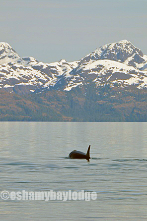 Prince William Sound Adventures view of Orca Whales