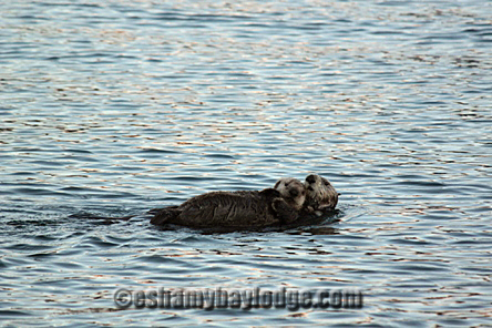 Mom and baby otter relaxing in Prince William Sound