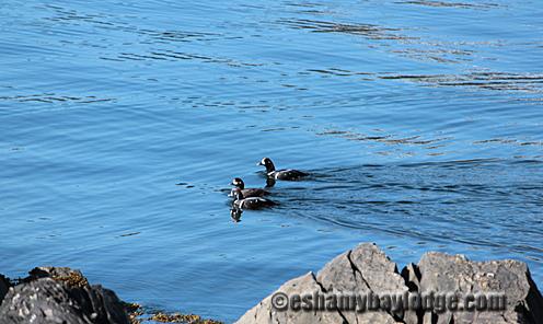 Harlequin Ducks viewed from Eshamy Bay Lodge in Prince William Sound