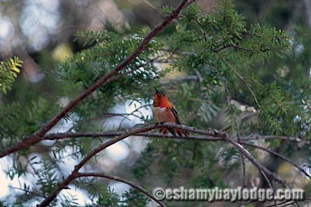 Hummingbird at Alaska's Eshamy Bay Lodge