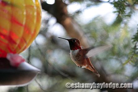 Hummingbirds frequent Eshamy Bay Lodge