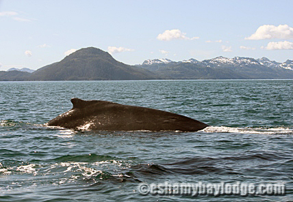 Humpback Whale on Prince William Sound Adventures