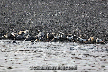 A large group of Harbor Seals in Prince william Sound