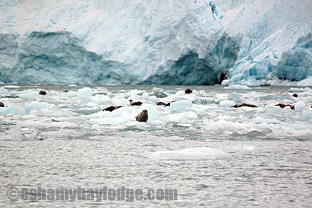 Seals at Nellie Juan Glacier